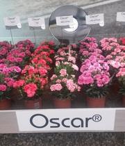 Гвоздика OSCAR оптом от производителя