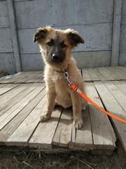 Ищем хорошего хозяина для красивого щенка Мелиссы!