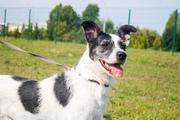 Спасите очень красивую собачку Белу из отлова!